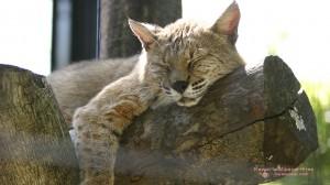 昼寝するボブキャットの無料壁紙画像