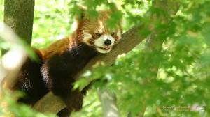 木陰で休むレッサーパンダの無料壁紙画像