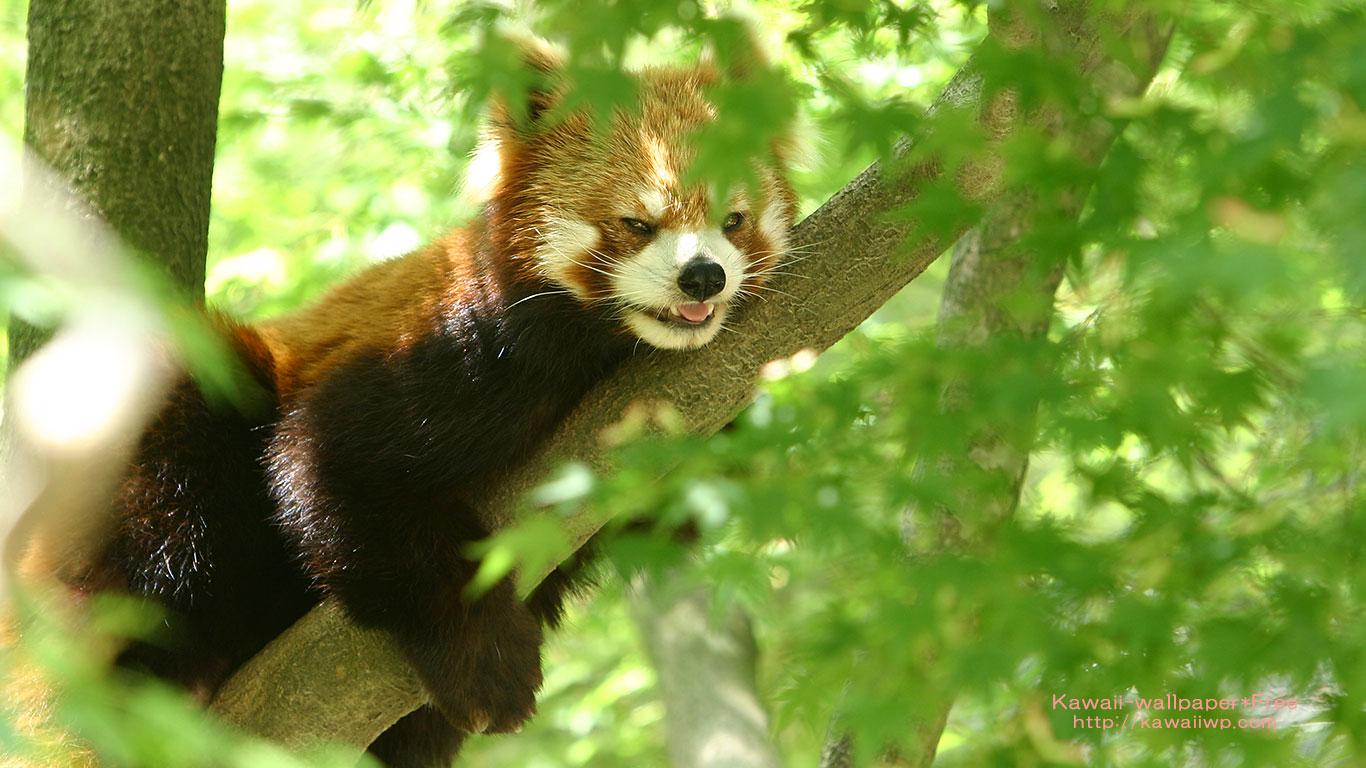 木陰で休むレッサーパンダの無料壁紙
