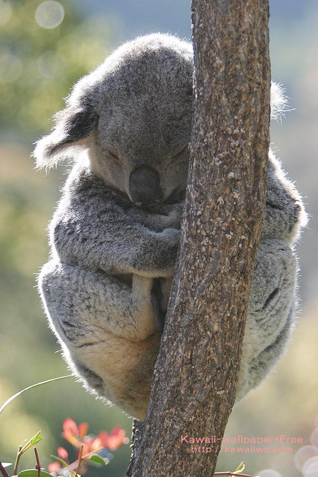 お昼寝中のコアラのiPhone用壁紙