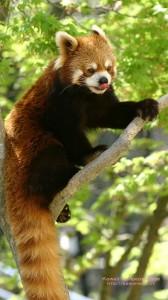 舌をだしたレッサーパンダのAndroid用壁紙画像