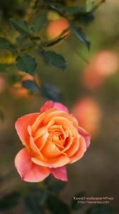 可憐なバラのかわいいiPhone用壁紙画像2