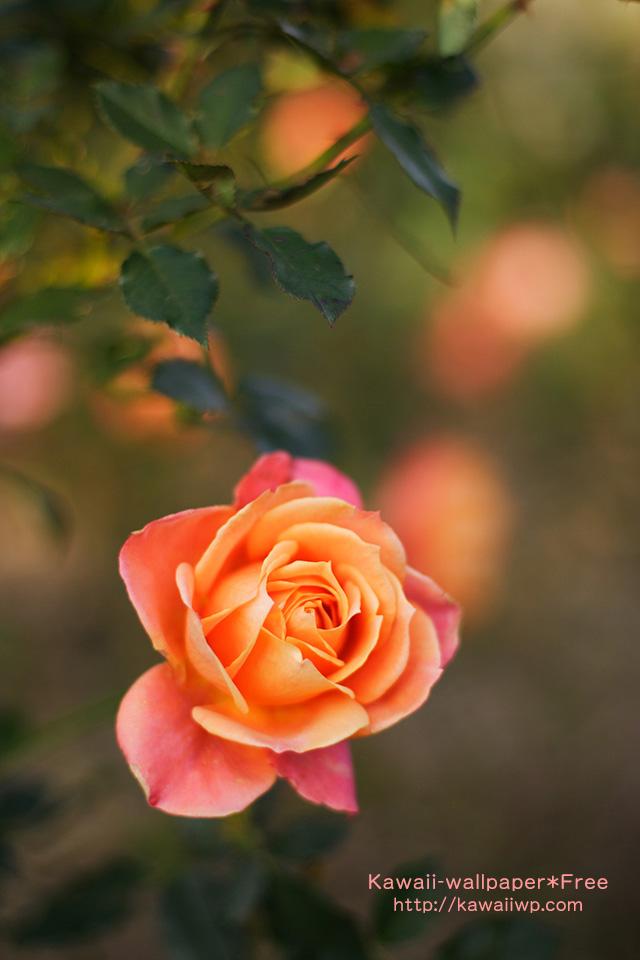 薔薇の画像 p1_14