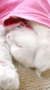 爆睡中の白猫のかわいいiPhone用壁紙画像2
