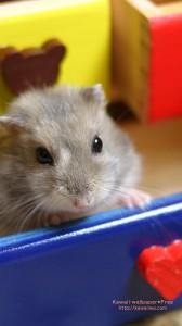 おもちゃのタンスから顔をだすハムスターのiPhone用壁紙画像2