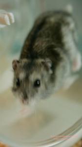 走るハムスターのiPhone用壁紙画像2