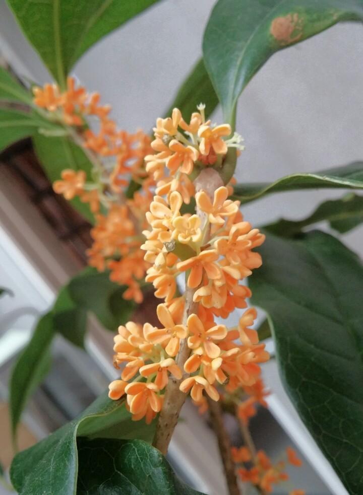 キンモクセイが咲きました(*´-`)