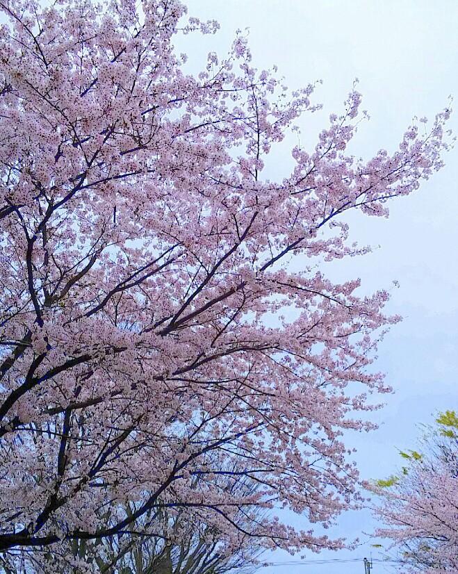 桜が満開♪