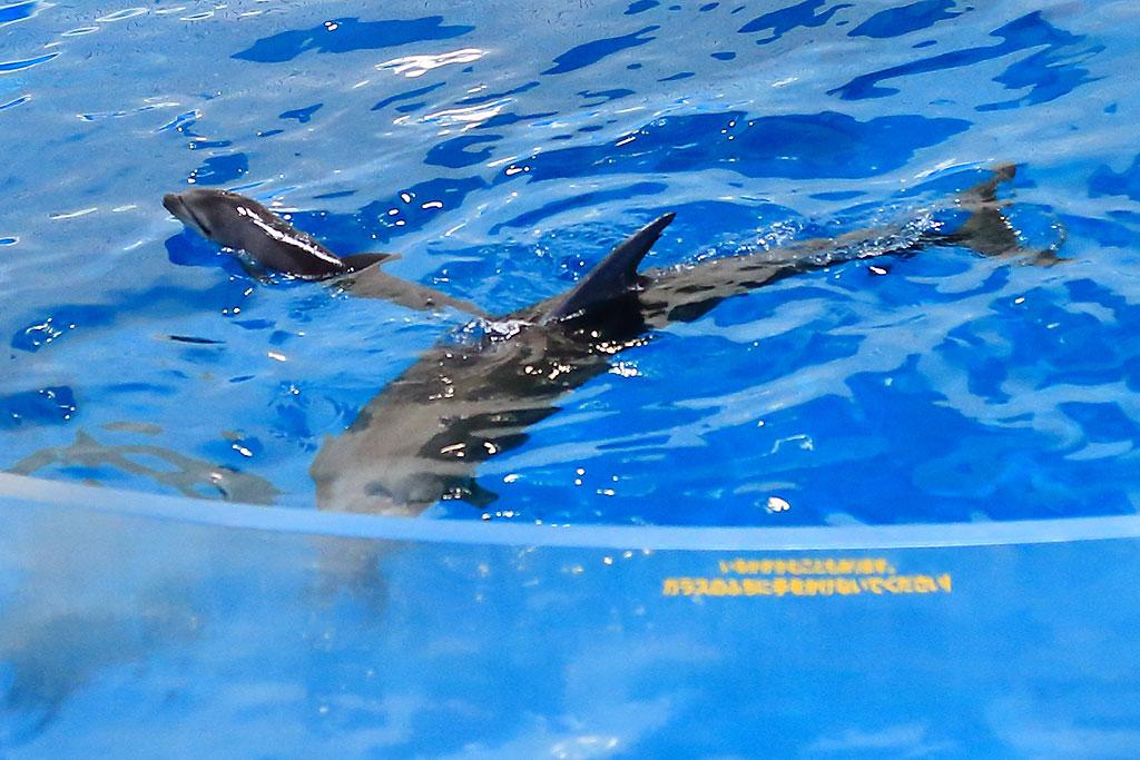 イルカの赤ちゃん、みてきたよー╰(*´︶`*)╯